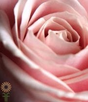 Light Pink Sophie Roses