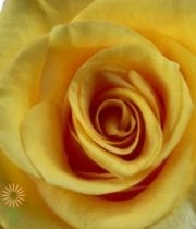 Yellow/Gold Conga Roses