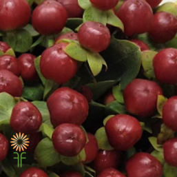 wholesale flowers | Hypericum -burgundy