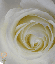 White Proud Roses