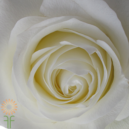 wholesale flowers | rose proud