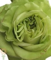 Green Supergreen Roses