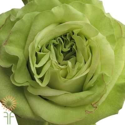 wholesale flowers | rose supergreen