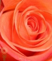 Coral High & Blooming 50cm Roses