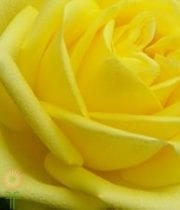 Yellow Latina Roses