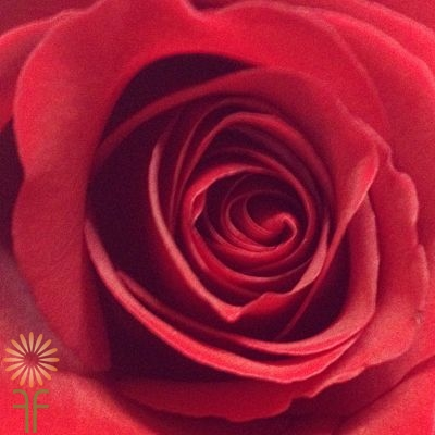 wholesale flowers | rose sexy red