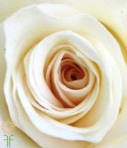 White High&Pure Roses