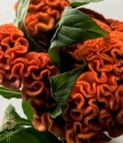 Celosia, Bombay-orange