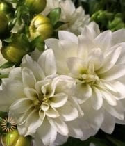 White Field Dahlias