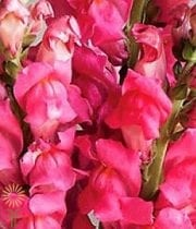 Hot Pink Snapdragons