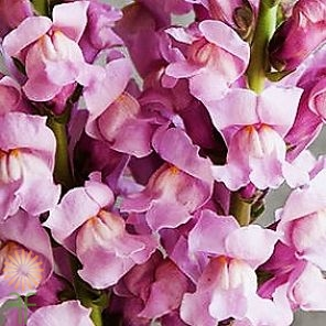 wholesale flowers | snapdragons lavender