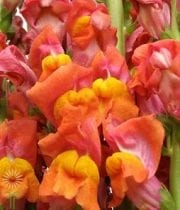 Snapdragons-orange