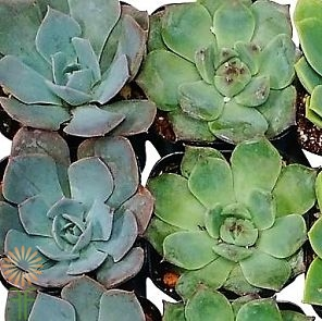 wholesale small succulents