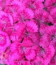 Hot Pink Sweet William