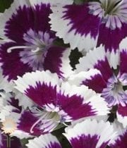 Sweet William-purple/white