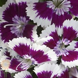 wholesale flowers | Sweet William purple white