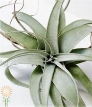 Tillandsia-Jumbo Airplant