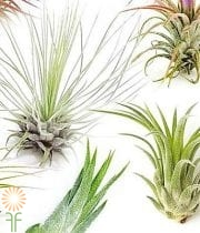 Tillandsia-small Airplant