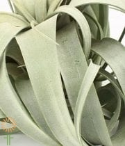 Tillandsia Airplant, Large