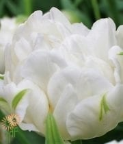 Tulips, Double-white