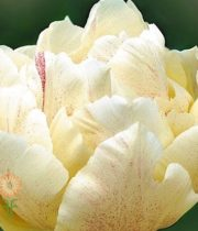 Cream Double Tulips
