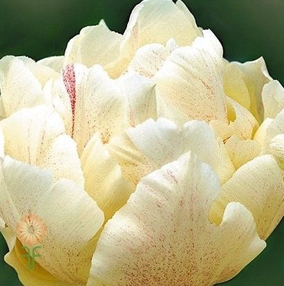 wholesale flowers | tulips cream