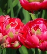 Hot Pink Double Tulips
