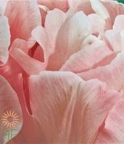 Light Pink Double Tulips