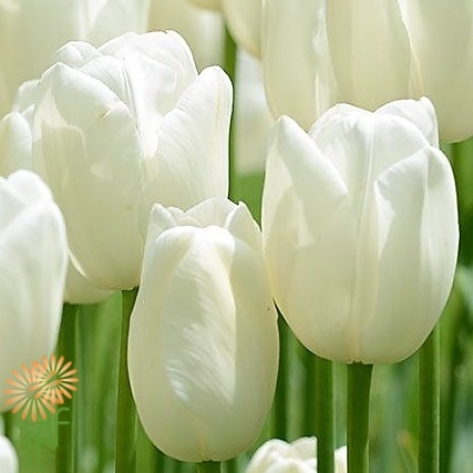 wholesale flowers   tulips French white
