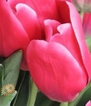 Tulips, Greenhouse-hot Pink