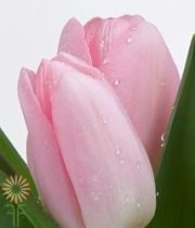 Light Pink Greenhouse Tulips