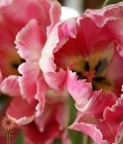 Hot Pink Parrot Tulips