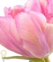 Tulips, Parrot-light Pink