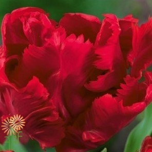 wholesale flowers | tulips Parrot red