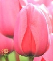 Pink Greenhouse Tulips
