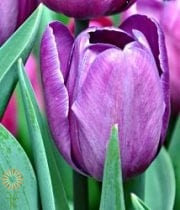 Tulips, Greenhouse-purple