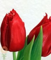 Red Greenhouse Tulips