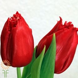 wholesale flowers | tulips greenhouse red