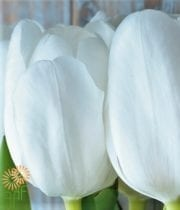 Tulips, Greenhouse-white