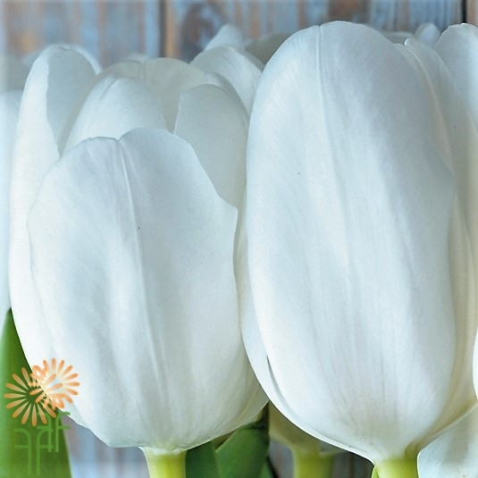 wholesale flowers | tulips greenhouse white