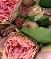 Cream/Blush Antique Romantica Garden Roses, SA