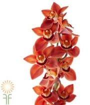 Brown Cymbidium Orchids, Large