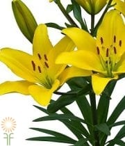 Lily Asiatic-yellow