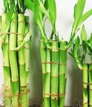 Lucky Bamboo, Straight 6″