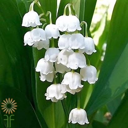 Image result for lily of the valley