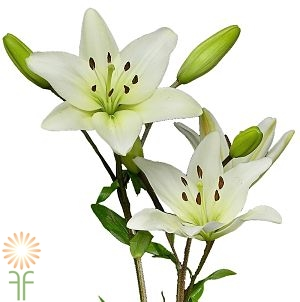 wholesale flowers | Asiatic Lily- white