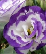 Lisianthus, Doubles-white/purple