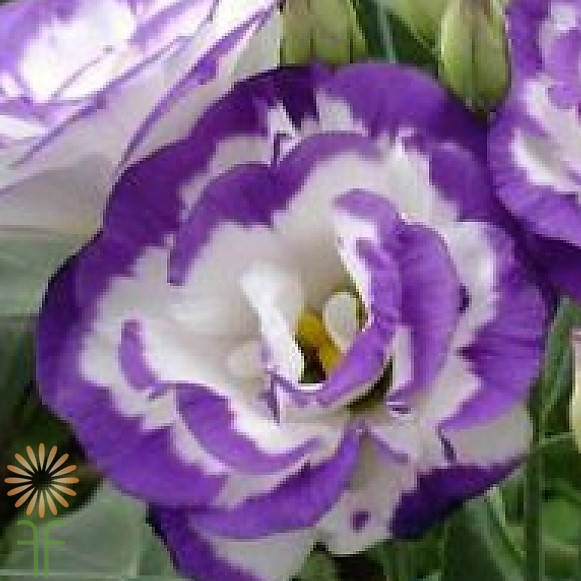 wholesale flowers | lisianthus-white purple