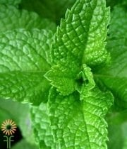 Mint-green Herb