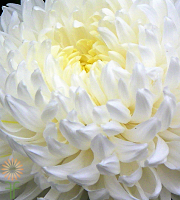 Mum, Disbud China-white